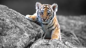 cute baby tigers wallpapers. Simple Wallpapers Standard  And Cute Baby Tigers Wallpapers T