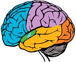 Resultado de imagen de the brain
