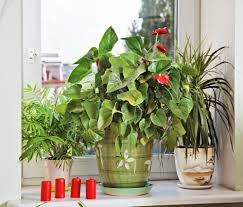 Peace lilies are low-maintenance plants; they grow well even in low light.