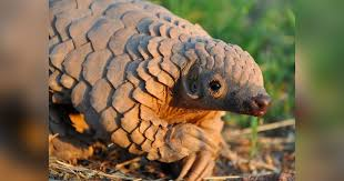 how us zoos bred endangered pangolins that are considered impossible to keep alive in captivity
