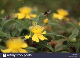 Hummel, besuchen die gelben Blüten der Rose von Sharon / Aaron Bart /  Johanniskraut Stockfotografie - Alamy