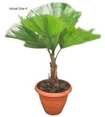 fan palm trees. small ruffled fan palm tree - licuala grandis web trees