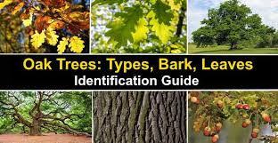 oak trees with their bark and leaves