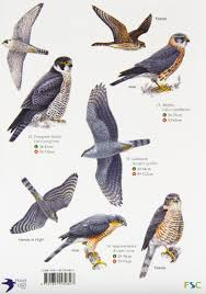 Buy Guide To British Birds Of Prey Chart Book Online At
