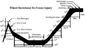 Winter Wheat Growth Stages Chart Freeze Injury On Wheat Texas A M Agrilife Research And