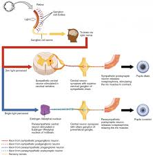 Central Nervous System Vs Peripheral Nervous System Venn Diagram Cns And Pns Diagram Daytonva150