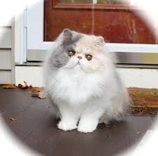 dilute calico kittens for sale.  Sale Sweet Dilute Calico Persian Kitten Throughout Kittens For Sale L
