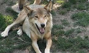 grey wolf size italian wolf facts diet size habitat information