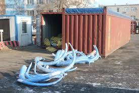 в Приморье задержали крупнейшую в своей практике партию бивней мамонта Таможенники в Приморье задержали крупнейшую в своей практике партию бивней мамонта