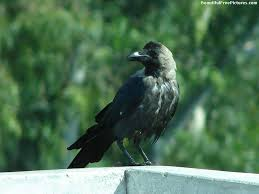 Image result for free image of crows