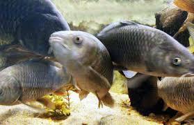Resultado de imagem para carpas peixes