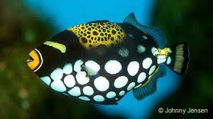 clown triggerfish. Beautiful Triggerfish Triggerfish Intended Clown E