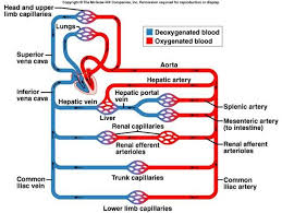 Venous Blood Flow Chart How Does The Hepatic Portal Vein Differ From Other Veins