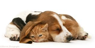 puppies and kittens sleeping. Perfect Puppies Ginger Kitten Under The Ear Of A Sleeping Basset Pup White Background For Puppies And Kittens Sleeping Y