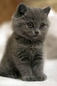 cute fluffy gray kittens.  Cute Gray Kitten Grey Cats Black Kitten Love Inside Cute Fluffy Kittens Y