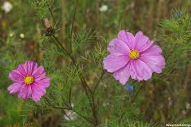 pink cosmos annual summer bedding plants