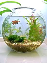 Betta Art Decorative Fish Bowl