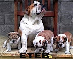east texas english bulldogs