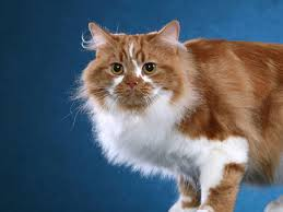 fluffy white and orange cats. Wonderful Cats Cymric With Fluffy White And Orange Cats G