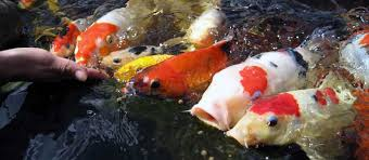 train your koi to feed from your hand