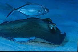 hammerhead shark eating a stingray.  Hammerhead Southern Stingray With Bar Jack By Arthur Koch On Hammerhead Shark Eating A A