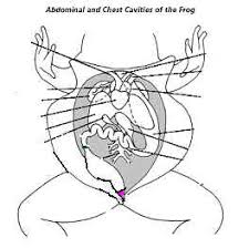 cloaca dissections on crayfish dissection worksheet