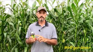 How to Control Ear Worms in Your Corn Using Bt - Bacillus ...