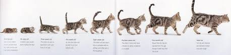 Siamese Kitten Growth Chart 42 Unbiased Growth Chart For Kittens