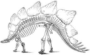 Small Picture This drawing shows the restoration of a Stegosaurus skeleton