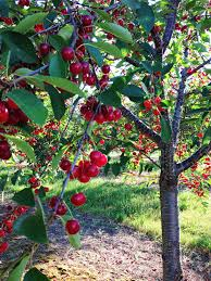 Michiganu0027s Tart Cherry Tree  Cherries  Pinterest  Tart Cherries Cherry Fruit Tree Care