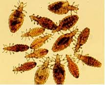 Goat Lice Lice What They Are And How To Control Them Nc State