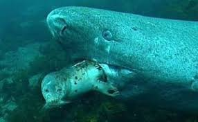 the greenland shark a cold water conundrum extreme marine the greenland shark is capable of catching fast moving live prey such as seals
