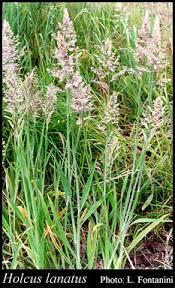 Holcus lanatus L.: FloraBase: Flora of Western Australia