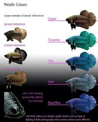 Betta Fish Chart Siamese Fighter Iridescence Chart Betta Fish Types Betta
