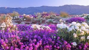 desert wildflowers flower hd wallpaper