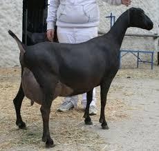 American Lamancha Goats Breed Info Characteristics