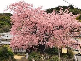 河津 桜 原木 場所