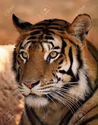 tiger face side.  Face Banque Du0027images  Gros Plan Du Visage De Tiger Avec Expression Cible In Face Side T