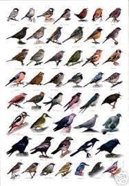 British Garden Birds Chart 10 British Birds Wildlife Poster British Birds