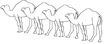Image result for dromedaries