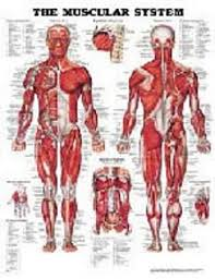 Anatomical Chart The Muscular System Laminated
