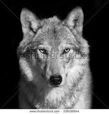 wolf face black and white. Interesting White Black And White Close Up Portrait Of Grey Wolf Female Square Image  Beautiful Dangerous Beast The Forest On Wolf Face And White