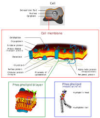 Endomembrane System Flow Chart Endomembrane System Wikipedia