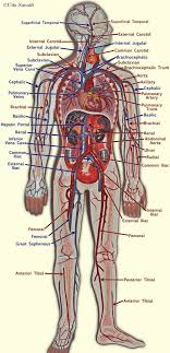 Human Blood Flow Chart Human Blood Circulation Diagram