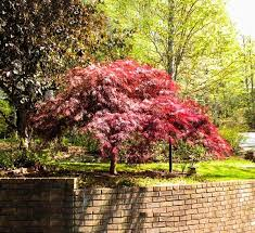 red dragon japanese maple for