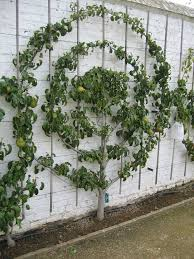 The Term Espalier Refers To The Way Fruit Trees Are Trained To Growing Cordon Fruit Trees