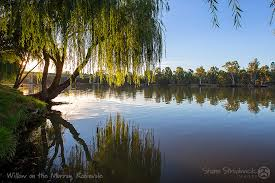 Image result for mighty willow tree