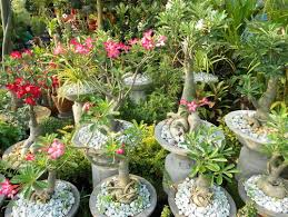 Small Picture Adenium in the Philippines
