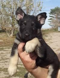black german shepherd puppies for sale. Modren Shepherd Intended Black German Shepherd Puppies For Sale P