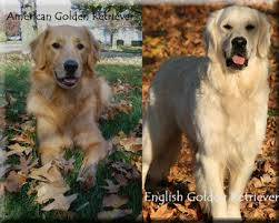 american vs english golden retrievers. Wonderful American In General The English Retrievers Have A Slightly Shorter Muzzle And  Squaredblockylooking Head On American Vs Golden Retrievers E